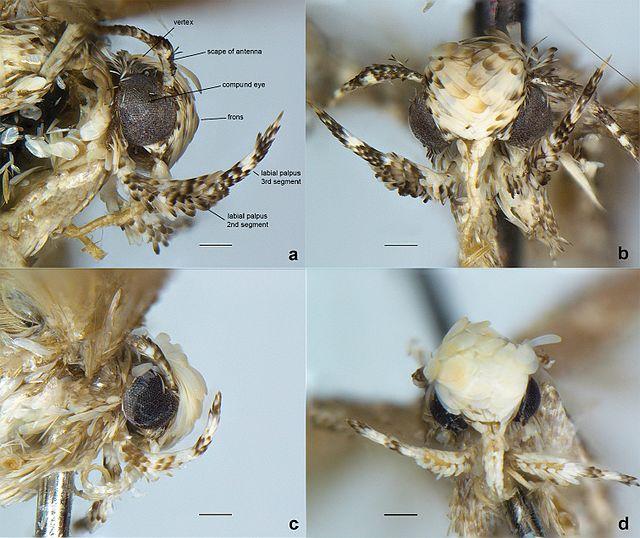 Neopalpa male heads