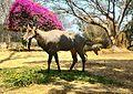 Nilgai-Bannerghatta National Park.jpg