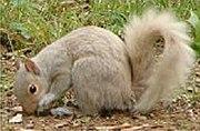 Non-albino white squirrel (The squirrel's eye is brown)