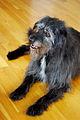 Nora the shaggy dog 05.jpg