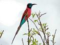 Northern Carmine Bee-eater (Merops nubicus) (17609764324).jpg