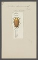 Noterus - Print - Iconographia Zoologica - Special Collections University of Amsterdam - UBAINV0274 014 04 0003.tif