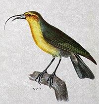 Nukupuu Hemignathus lucidus