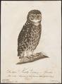 Nyctala funerea - 1800-1812 - Print - Iconographia Zoologica - Special Collections University of Amsterdam - UBA01 IZ18400211.tif