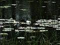 Nymphaea alba of Kenozersky national Park.jpg