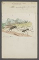 Oecodoma - Print - Iconographia Zoologica - Special Collections University of Amsterdam - UBAINV0274 043 01 0024.tif