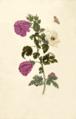 Okkerum Maria Sibylla Merian 1705 plate XXXVII.png