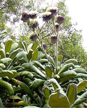 Oldenburgia grandis - Image: Oldenburgia grandis 00