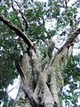 Olea macrocarpa - Giant Ironwood tree - Cape Town 4.jpg