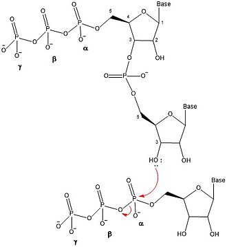 DnaG - Organic mechanism of oligonucleotide synthesis of ribonucleic acid (RNA) in the 5' to 3' direction