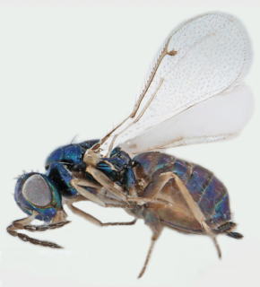 Chalcid wasp superfamily of insects