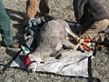 One Deer Tests Positive for Chronic Wasting Disease.jpg