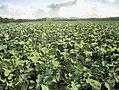 Ontginningen, gewassen te velde, koolraap, Bestanddeelnr 193-1064.jpg