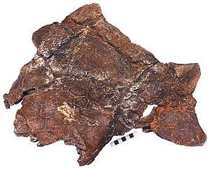 Scolosaurus - Skull of MOR 433