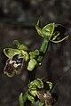 Ophrys lindia-001.jpg