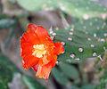 Opuntia macbridei (8410000418).jpg