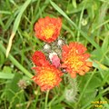 Orange hawkweed (NH) (29955237276).jpg