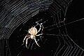 Orb Weaver Spider Georgia.jpg