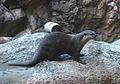 Oriental Small-clawed Otter (Aonyx cinerea) - GRB.JPG