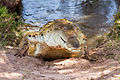 Orinoco crocodile Cocodrilo del Orinoco (Crocodylus intermedius).jpg