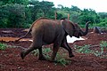 Orphaned Elephant Runs for Milk as Secretary Kerry Visits Animal Orphanage in Kenya (17332069506).jpg