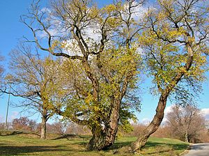 Druid Hill Park - Osage Orange Tree, November 2010