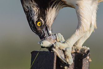 Biological interaction - Predation is a short-term interaction, in which the predator, here an osprey, kills and eats its prey.