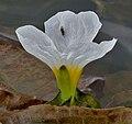 Ottelia alismoides flower W2 IMG 0919.jpg