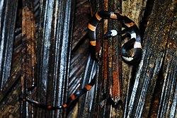 Oxyrhopus petola -Yasuni National Park, Ecuador-8.jpg