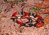 Oxyrhopus trigeminus in Lençóis Maranhenses National Park - ZooKeys-246-051-g007-C.jpeg