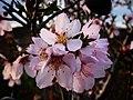 P1080513(4x3)-Prunus dulcis (27476487757).jpg