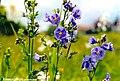 POLEMONIUM CAERULEUM. (Polémoine bleue).jpg