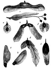 PSM V19 D181 Various seeds of trees