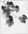 PSM V82 D350 Vitis labrusca or the northern fox grape.png