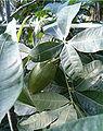 Pachira glabra BotGardBln1105LeavesFruitB.jpg