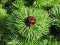 Paeonia tenuifolia (16070736160).jpg