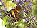 Painted lady on blue lobelia.jpg