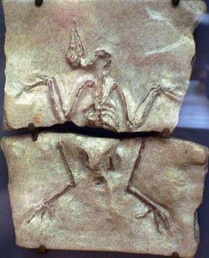 Galliformes - Palaeortyx skeleton, Muséum national d'histoire naturelle, Paris