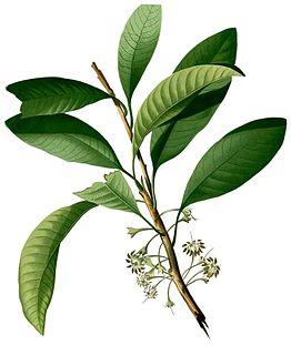 <i>Palaquium philippense</i> species of plant