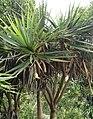Pandanus heterocarpus - Grande Montagne NR 7.jpg