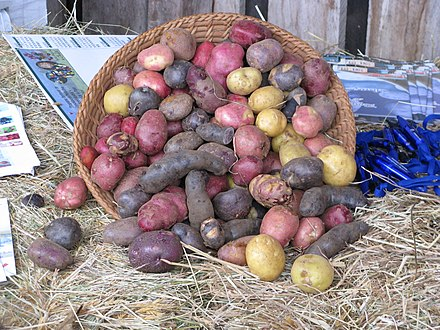 Potatoes with different pigmentation Papas de colores de Chiloe.jpg