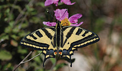 Papilio alexanor - Nature Conservation-001-073-g010.jpg
