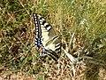 Papilio machaon St Francis' way.jpg