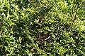 Papilio polytes (35414415473).jpg
