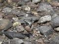 File:Papilio xuthus flying x40 SlowMotion.webm