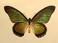 Papilionidae - Papilio zalmoxis.JPG