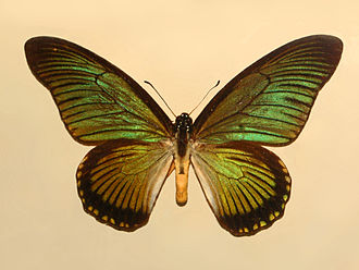 Papilio zalmoxis - From the DRC, green sheen - mounted specimen