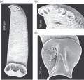 Parasite160108-fig3 - Triloculotrema euzeti (Monogenea, Monocotylidae).png