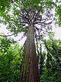 Parc National Forestier de la Poudrerie de Sevran - Séquoia géant 02.jpg