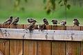 Passer domesticus -flock.jpg